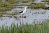 Black-winged Stilt (Kentish Plumber) Tags: blackwingedstilt stodmarsh stilt bird wader nature wildlife bubblegum colour legs longlegs black white