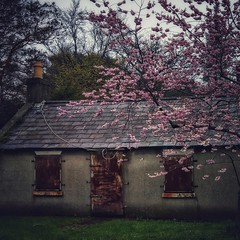 ... Cherry Blossom time... (jane64pics) Tags: cherryblossom tree building abandoned spring phone phonephotography snapseed janefriel janefriel2018