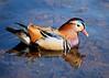 Mandarin Duck WH 18th April 2018 (Nigel B2010) Tags: duck mandarin beauty beautiful colour orange red green blue white spring april wollaton hall nottingham nottinghamshire sun sunshine olympus omd em1mkii panasonic 100400f463