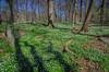 Wood anemones in the Pålsjö forest (frankmh) Tags: forest beech plant woodanemone pålsjö helsingborg skåne sweden nature