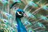 D50_9958.jpg (ManuelSilveira) Tags: fauna aves pavao