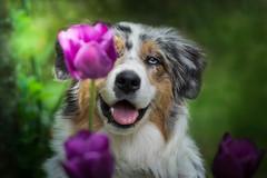 Naska (morgane.machard) Tags: aussie australianshepherd pets flowers nikon bergeraustralien chien bokeh spring