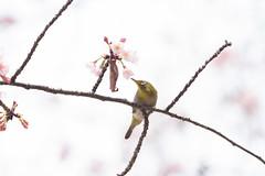 _3188230.jpg (plasticskin2001) Tags: mejiro sakura bird flower