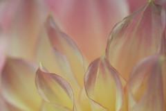 Love waits.... (setoboonhong) Tags: nature flower petals dahlia pastel colours bokeh blur macro depth field melbourne international garden show love edge