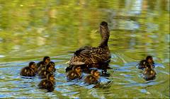 Mummy mallard and her new chicks. (vermillion$baby) Tags: fishtrapcreek abbotsford bird chick duck lake relection walk wetland reflection bc fraservalley beautifulbc