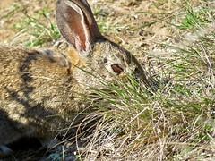 Bunny in the Grass (morroelsie) Tags: bunny rabbit harmonyheadlandstrail highway1 centralcoast morroelsie