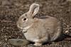Domestic Rabbit, Arboretum (jlcummins - Washington State) Tags: yakimacounty yakimaareaarboretum washingtonstate wildlife fauna