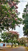 rosa (Andreia Colecto) Tags: trees arvores corderosa pink green rosa