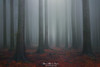 A taste of forest (Mimadeo) Tags: fog forest mysterious fantasy dreamy mood moody atmosphere atmospheric blue red landscape magic tree light mystery mist spooky foggy misty halloween woods evil creepy gothic silhouette enchanted ghost haunted eerie nobody fairytale trunk cold dawn ethereal