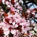 Pink blossom - heralding spring 2018