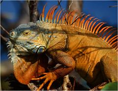 Does anyone have some sunscreen? (Sun~Lover) Tags: florida iguana lizard sunburn delraybeach wakodahatcheewetlands orange explore 2018