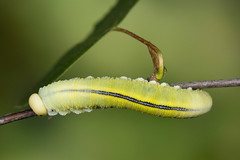 Cimbex femoratus (NakaRB) Tags: larva insecta hymenoptera cimbicidae cimbexfemoratus 2014