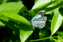 Holly Blue (Helen:) Tags: