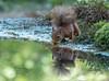 Mirror. (JurgenMaassen) Tags: redsquirrel squirrel eekhoorntje eekhoorn sciurus vulgaris eichhörnchen canon canon7dmarkii ef100400mmf4556lisiiusm