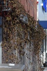 chocolate vine (ophis) Tags: ranunculales lardizabalaceae akebia akebiaquinata chocolatevine fiveleavedakebia