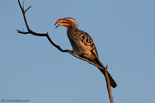 Southern Yellow-billed Honbill