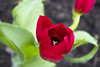 Blood Tulip (Bulda9) Tags: tulip blood red spring march