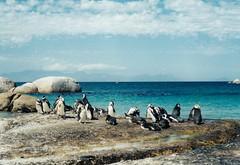Jackass penguins. Boulders Bay. SA. (Granpic) Tags: southafrica capeprovince westerncape seaside coast beach boulderbay penguins jackasspenguins spheniscusdemersus