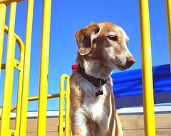 14/52 Weeks for Skye (ginam6p) Tags: skye sunshine hound dog toronto 52weeksfordogs 2018 yellow