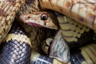 Lampropeltis californiae - California king snake found eating a Pituophis catenifer catenifer - Pacific gopher snake.