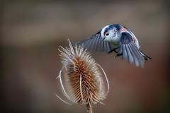 Long tailed tit landing teasel (stevehimages) Tags: steve steveh stevehimages grandpas den grandpasden 2018 waen wowzers cannock chase fredas grave long tail tit bird nature teasel flight