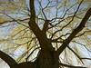 Verzweigungen (Jörg Paul Kaspari) Tags: trier nellspark hängeweide salix verzweigungen stamm kron baumkrone schatten tree abre