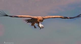 Hamalayan Griffon Vulture.