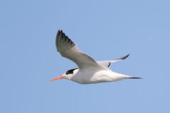 Elegant Tern (Alan Gutsell) Tags: birds birding alan wildlife nature texasbirds texas migration rarebirds texasrarebirds elegant tern eleganttern surfside gulf coast flying