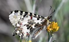 Eastern Festoon (Zerynthia cerisy) (festoon1) Tags: easternfestoon zerynthiacerisy butterfly cyprus