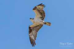 Osprey on patrol against Bald Eagles