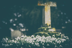 Snowdrops in the Graveyard (Lauren Taliana) Tags: headstone cross graveyard elements flickr nikkor nikon snowdrops nature floral flora white winter plant bulb botanical flower bloom fiore fleur snowdrop outside