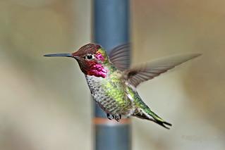 Anna's Hummingbird 18-0311-8349