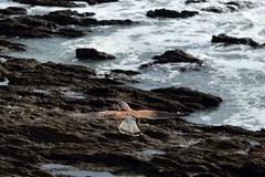 MAR_1815_00001 (Roy Curtis, Cornwall) Tags: uk cornwall falmouth kestral foreshore gyllingvasebeach birds coast sea