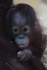 Sabar @ Ouwehands Dierenpark 29-04-2017 (Maxime de Boer) Tags: sabar orangutan orangoetan ape monkey aap ouwehands dierenpark ouwehand zoo rhenen animals dieren dierentuin gods creation schepping creator schepper genesis