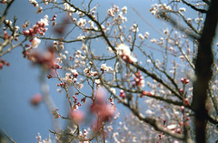 omiya76nc-film (yaplan) Tags: film contaxax flower japan memory