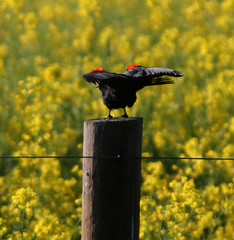 Red Shoulders (kevinfoxphotography53) Tags: ebparksok kevinfoxphotography red winged black bird fremont california nature mustard wild