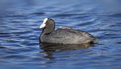 Got bread? (Paula Darwinkel) Tags: eurasiancoot coot bird waterbird animal wildlife nature water blue