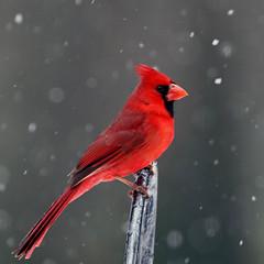 male cardinal (bnbalance) Tags: redbird cardinal nature red vibrant birdwatcher