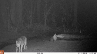 Trail Cam video 1: eastern coyote