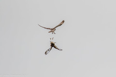 Short-eared owl-6119.jpg (oregondew) Tags: asioflammeus shortearedowl diamondhilldr