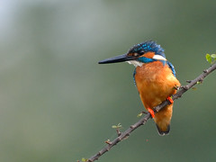 Kingfisher - God's colour Palette (A_K_B) Tags: common kingfisher bird fishing fish lake nikon200500mm nikon palette colour color
