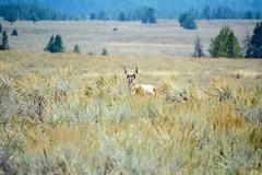 Pronghorn Antelope - Yellowstone National Park, Wyoming (simbajak) Tags: yellowstone national park grass grasslands antelope pronghorn wyoming mountains trees pine green blue fall young sagebrush