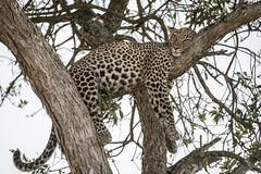 Kenya (antoniogs) Tags: wildlife leopard kenya masai mara nikon safari