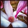 And the pinkness. #collegepark #maryland #iPhone #commute #sidewalk #roadside #iPhonemacro #macro  #flower #flowersofinstagram (Kindle Girl) Tags: roadside collegepark maryland iphone commute sidewalk iphonemacro macro flower flowersofinstagram