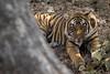 Tiger | Panthera tigris | बाघ (Paul B Jones) Tags: india tiger pantheratigris बाघ ranthamborenationalpark rajasthan nature wildlife canoneos1dxmarkii ef500mmf4lisiiusm asia asian tourist tourism travel ecotourism indian indiya inde indien indië safari