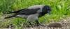 Cornacchia Con Preda (G.Sartori.510) Tags: pentaxk3 hdpentaxda14xafawrc smcpentaxda300mmf4edifsdm cornacchia crow riccio hedgehog