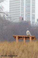 City Snowy Owl-C (LC10S) Tags: snowy owl lake chicago michigan beach montrose winter bath birdbath city