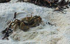 Cangrejito (Miguel Ángel Prieto) Tags: dhigurah maldives maldivas islas isla island cangrejo crab