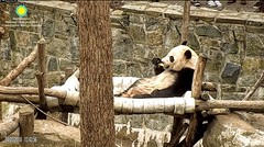 2018_04-03e (gkoo19681) Tags: beibei chubbycubby fuzzywuzzy adorableears treattime sugarcane soyummy loungeprince comfy sillygoober toocute feetsies beingadorable meltinghearts cooldude delicious ccncby nationalzoo