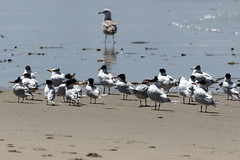 Royal Terns_2482 (Mike Head - Away for a bit!) Tags: terns royalterns wind knots socal southerncalifornia us usa america